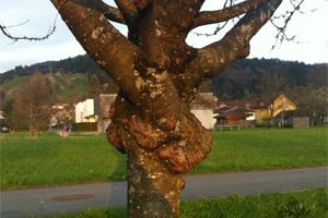 Baum mit Krebsbefall