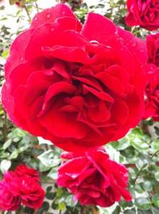 Rosen, eine Pflanze der Gefühle