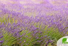 Lavendel, ein Strauch mit Heilwirkung