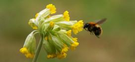 Schlüsselblume, die Heilpflanze grüßt den Frühling