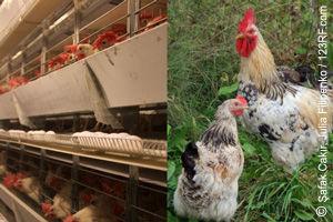 Hühnerhaltung mit großem Unterschied (©123rf.com)