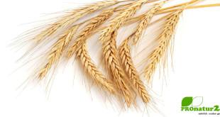 Dinkel, das Weizen-Urkorn in der deutlich gesünderen Variante